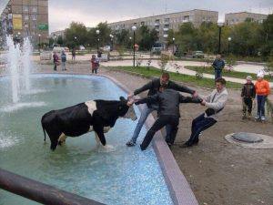 Корова в фонтане , добро пожаловать в Россию