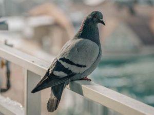 Как топают голуби. Студенческая история